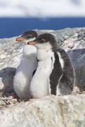 Gentoo penguin two chicks sitting in nest in anticipation of parents Stock Photos