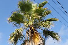 fan palms - stock photo