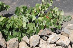 volcanic vines - stock photo