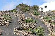 Stock Photo of volcanic vineyard