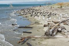 flock of South Island Pied Oystercatchers and segaulls resting at the beach - stock photo