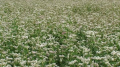Fagopyrum esculentum, buckwheat field in bloom- full screen + pan Stock Footage