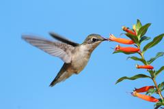 Ruby-throated hummingbird at a cigar flower Stock Photos