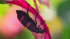 Big black and red beetle on the red flower. Macro Stock Footage