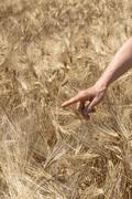 female hand in gold barkey field on summer day. - stock photo