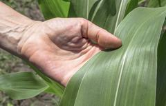 examination corn leaf. - stock photo