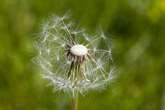 Common dandelion, Taraxacum officinale Kuvituskuvat