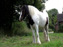 Dappled Cob Horse Grazing On Side of The Road Stock Footage
