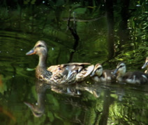 Family of ducks swimming Stock Footage
