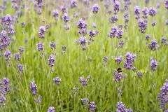 lavender field with a bee - stock photo