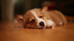 Pembroke Welsh Corgi Puppy Sleeping on Floor Stock Footage