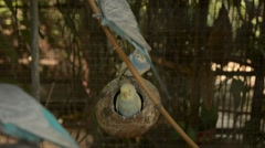 An adorable pair of budgies in a cage with many other budgies Stock Footage