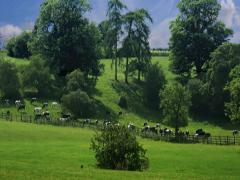 British Farming - Cattle Grazing in Field Stock Footage