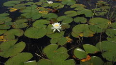 Water lily Flowers. Wide shot. Stock Footage