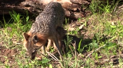 Gray fox mom and two 2 kits 2 Stock Footage