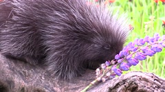 Baby porcupine Stock Footage