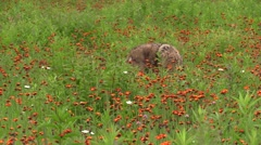 A coyote running through a field of indian paintbrush Stock Footage