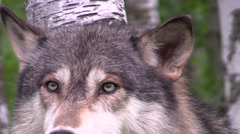 A timber wolf between two birch trees 11 Stock Footage