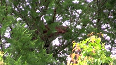 A bobcat high in a tree face forward 2 Stock Footage