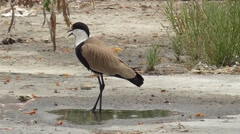 One spur-winged lapwing Stock Footage