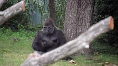 Gorillas grazing in zoo exibit walking on all fours Stock Footage