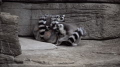 Ring-tailed Lemurs huddling in zoo exibit Stock Footage