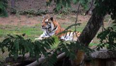 Tiger in zoo exibit resting - stock footage