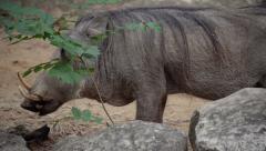 Warthogs grazing in zoo exibit Stock Footage
