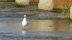 Black-headed Gull on water / Larus ridibundus / Chroicocephalus ridibundus Stock Footage