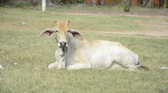 Young cow sitting on green field Stock Footage