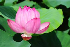 nelumbo nucifera - stock photo
