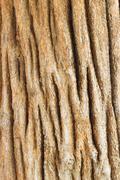 bark of teak tree - stock photo