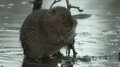 Water Vole (Arvicola amphibius) middle of stream eating Stock Footage