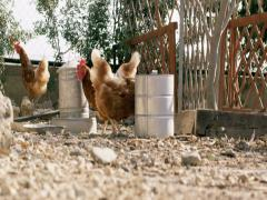 chickens eating in the yard - stock footage