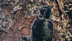Three Toed Woodpecker Chipping Bark Stock Footage
