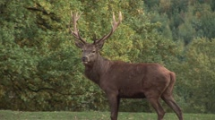 HD1080i Red male deer with big antler in the forest Stock Footage
