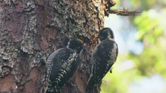 Three Toed Woodpecker Digs Grub and Shares with Mate Stock Footage