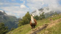 Lama at Geiranger Norway Stock Footage