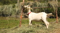 Goats at Geiranger Norway HD Footage