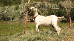 Goats at Geiranger Norway Stock Footage