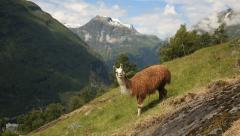 Lama at Geiranger Norway - stock footage