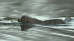 Water Vole (Arvicola amphibius) swimming to log and eating Stock Footage