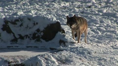 HD1080i Wolf in winter Stock Footage