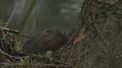 Water Vole (Arvicola amphibius) Close up of gnawing at bark on a tree Stock Footage