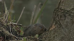 Water Vole (Arvicola amphibius) gnawing at bark on a tree Stock Footage