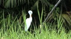 White ibis bird Stock Footage