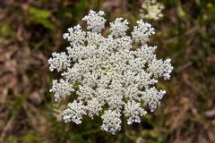Yarrow Stock Photos