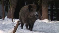 Wild boar wandering Stock Footage