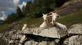 Goats at Geiranger Norway Footage