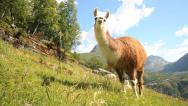 Stock Video Footage of Lama at Geiranger Norway